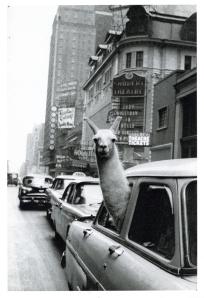 llama_inge_morath1