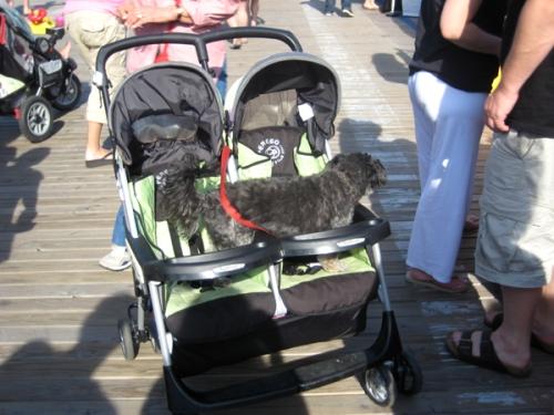 dog-in-stroller